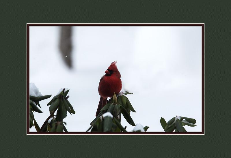 Sunday Cardinal