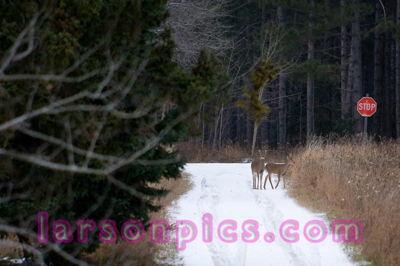 Winter Scene Deer on Road