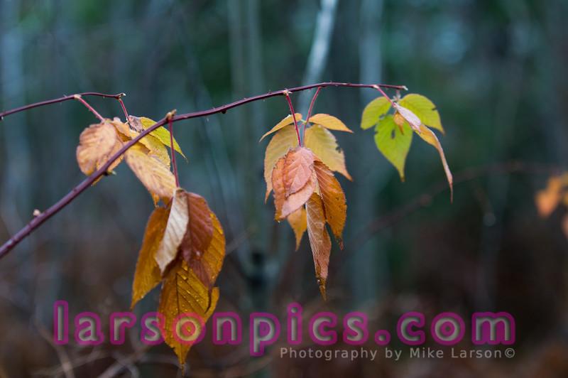 Wild Blackberries in La Salle Falls - Florence, Wisconsin