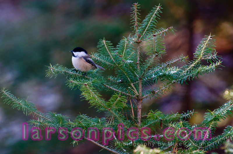 Black-capped Chickadee in Florence, Wisconsin