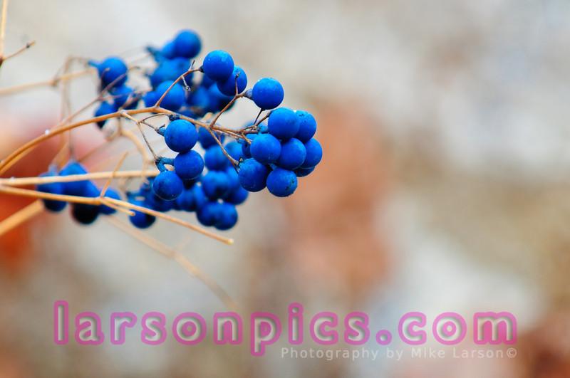 Wild Blue Berries, Wisconsin