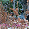Wild Turkeys in Florence Wisconsin