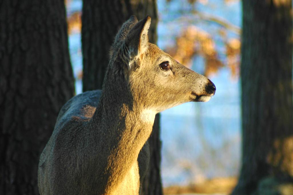 Deer in winter at Birch Island Lake