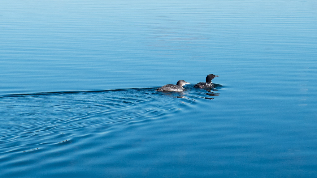 Loon with baby on Birch Island Lake