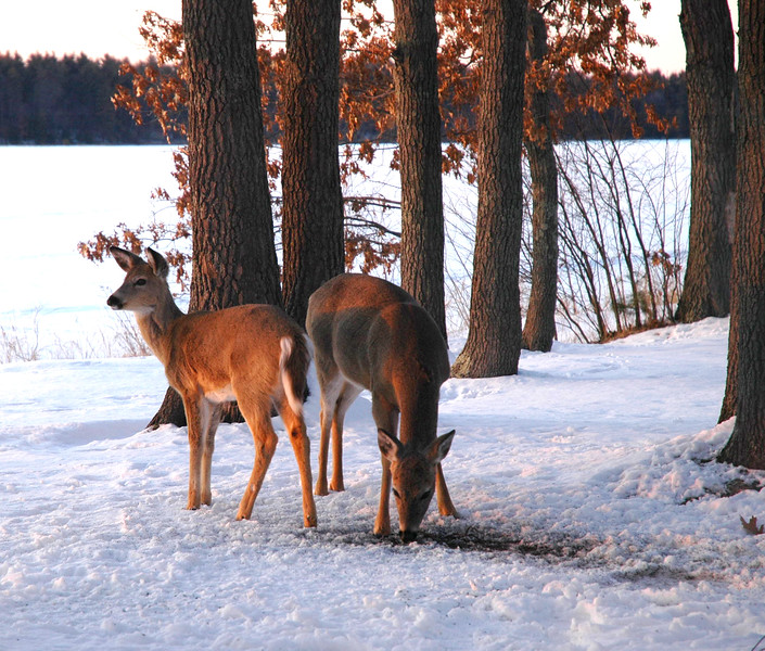 Deer in winter at Birch Island Lake