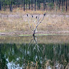 Cormorants - Wivenhoe dam