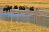 Bison taken Sep 28, 2010 in Yellowstone National Park, WY.