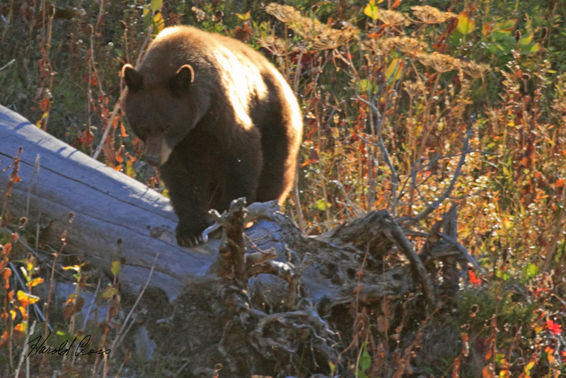 A grizzly bear taken Sep 28, 2010 in Yellowstone National Park, WY.