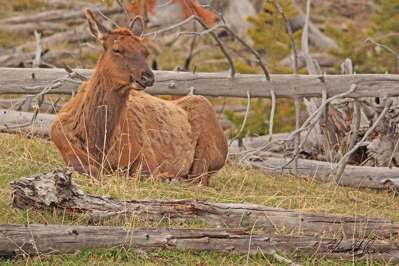An elk taken May 22, 2010 in Yellowstone National Park, Wyoming.