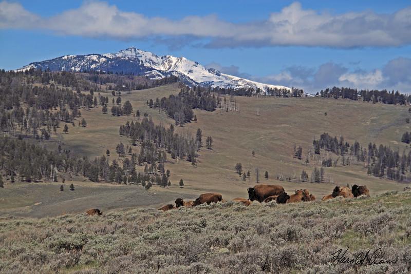 Bison taken May 22, 2010 in Yellowstone National Park, Wyoming.