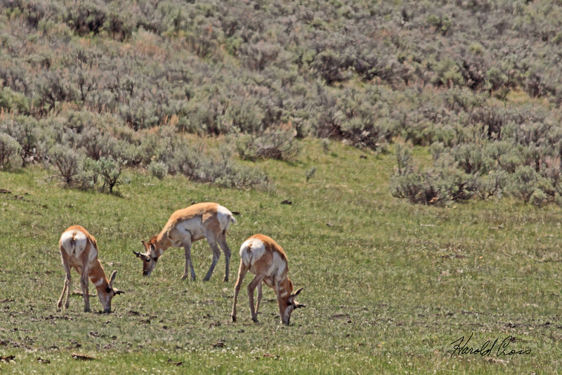 Pronghorns taken May 22, 2010 in Yellowstone National Park, Wyoming.