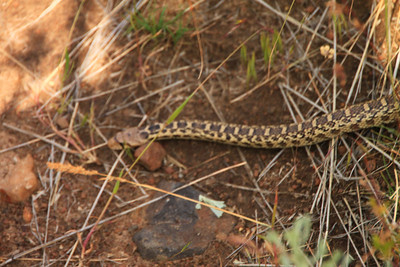 Gopher Snake. Harmless.