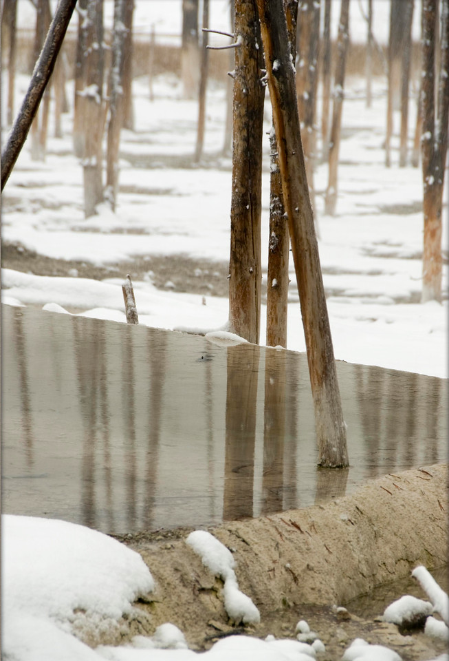 Frozen Birch<br /> Yellowstone National Park