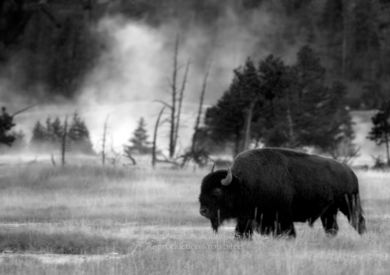 Bison in Mist B&W<br /> Yellowstone National Park