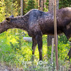 18  G Moose in Tetons