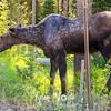 18  G Moose in Tetons