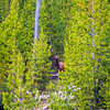 658  G Momma Elk in Trees