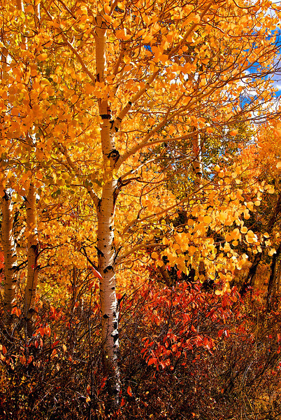 Aspin Fall Color