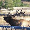 Elk ( Cervus canadensis)