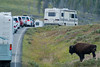 Bison, charging tourist cars in Yellowstone