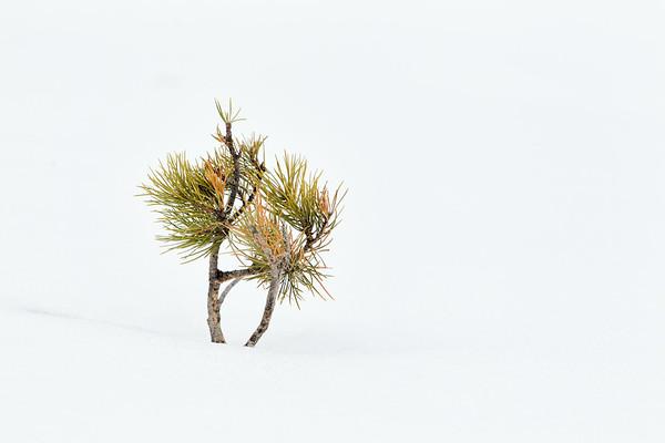 Regenerating Pine