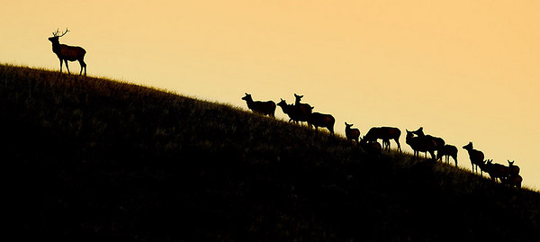 Shooting straight West into the setting sun, this elk harem is silhouetted against the afternoon Wyoming sky in Yellowstone National Park.