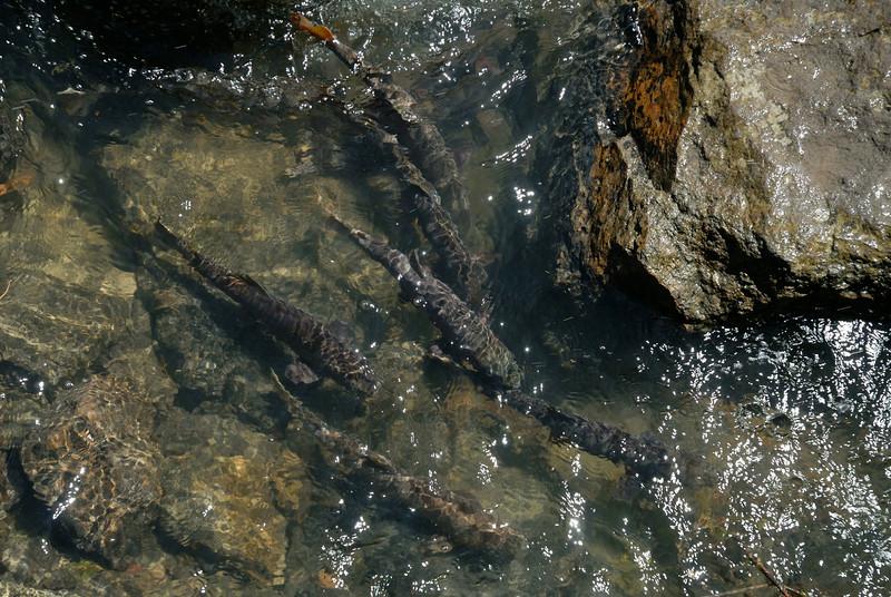 Fish in Yellowstone river