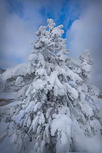 Lodgepole Pine_ YNP