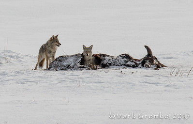 Coyotes feeding and resting on/in the remains of a bison.