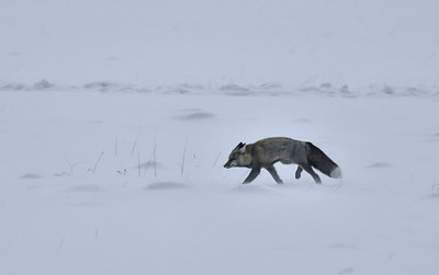 Fox hunting in Fountain Flats