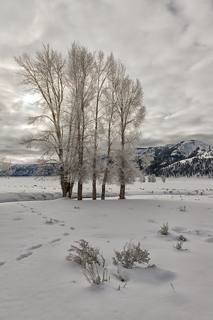 Ice-covered trees in Lamar Valley