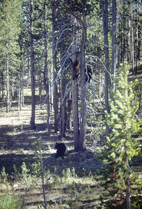 Mama bear with two cubs (up the tree) 1948
