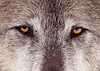 wolf_face_closeup