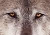wolf_face_closeup