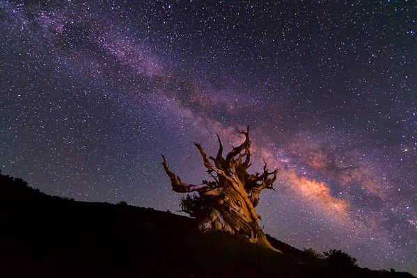 Milky Way over a Lone Bristlecone