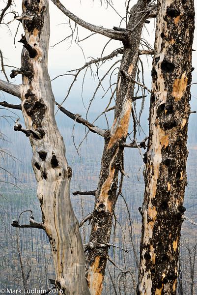 Lake Yellowstone Scorched Trees 09-2016