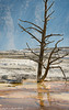 Mammoth Hot Springs Tree 2 09-2016