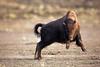 buffalo_running_6