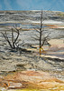 Mammoth Hot Springs Tree 3 09-2016