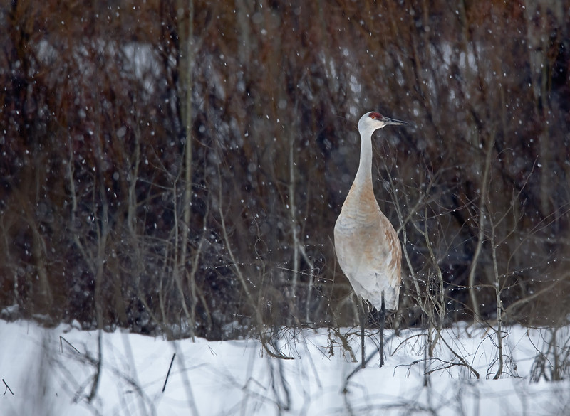 sand_hill_crane_in_snow