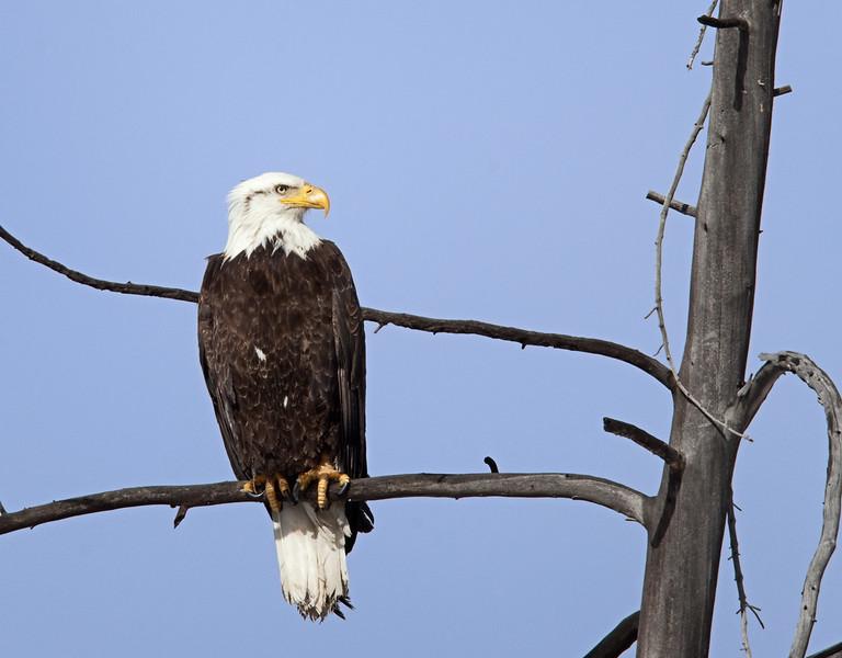 eagle_vert_1