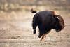 buffalo_running_5