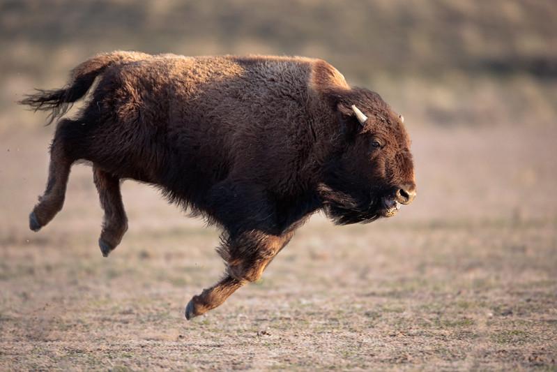 buffalo_running_4