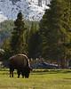 Bison-Yellowstone-06-2011