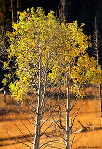 Fall Aspens north of Mount Washburn.