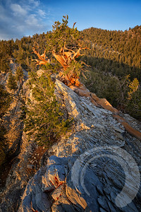 Sunrise at the Ancient Bristlecone Forest in the White Mountains of California.  It was a road trip to celebrate our 25th anniversary.The prime objective was to visit the ancient bristlecones.