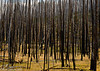 Lake Yellowstone Torched Pines 09-2016