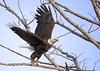 eagle_takeoff