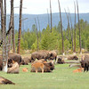 107 Bison & Calves
