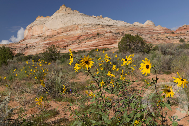 Wildflowers at the White Pocket  A fellow who has lived in Kanab, UT for 20 years said he'd never seen wildflowers this profuse in the area.